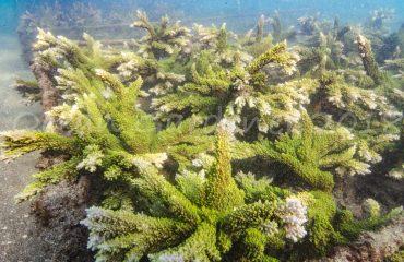 Candidasa Coral Farm