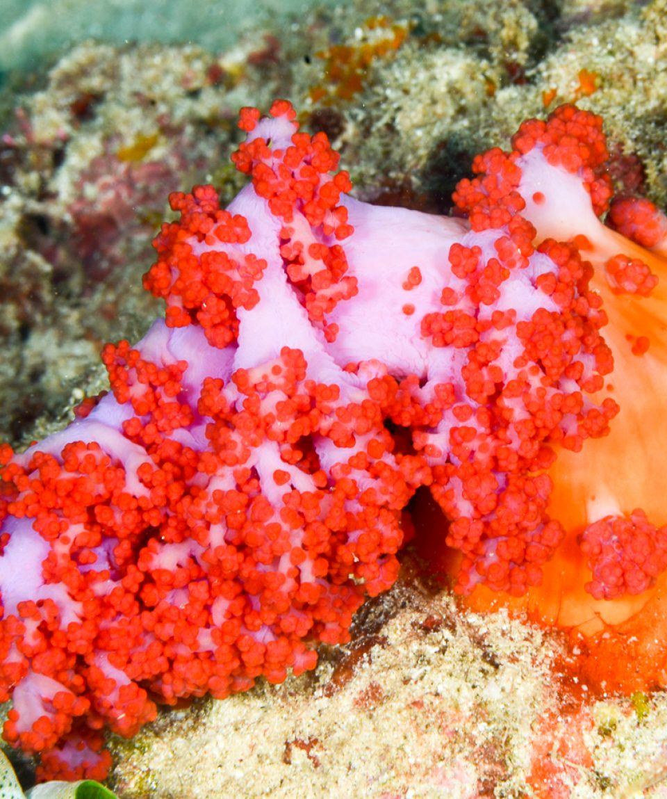 Scleronephthya sp soft coral